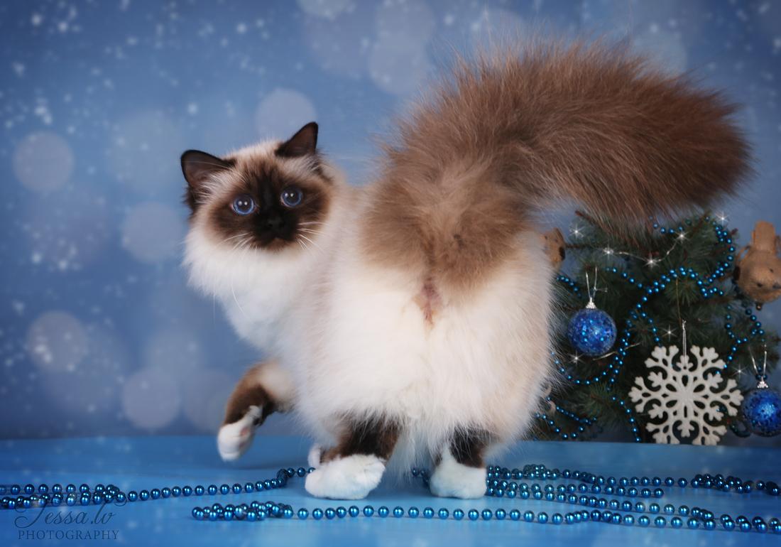 Senorita Svētās birsmas kaķi - Lullubele