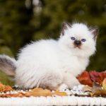 Senorita Svētās birsmas kaķi