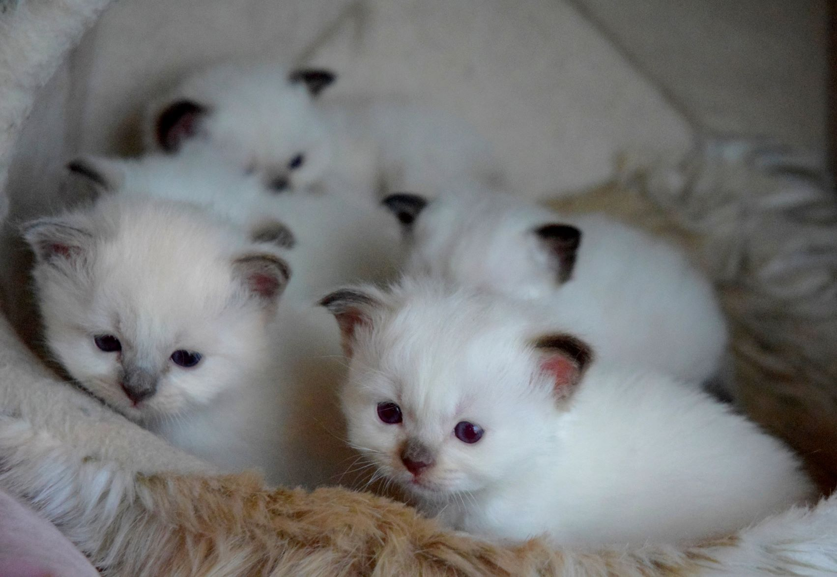 Sacred birman kittens CH LV Gentle Tomson Olivia X IT*Eric Clapton Pinetadeisogni