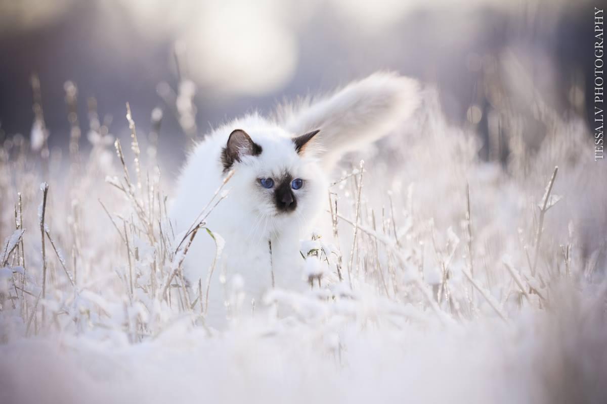 Svētās birsmas kaķi - Lullubele