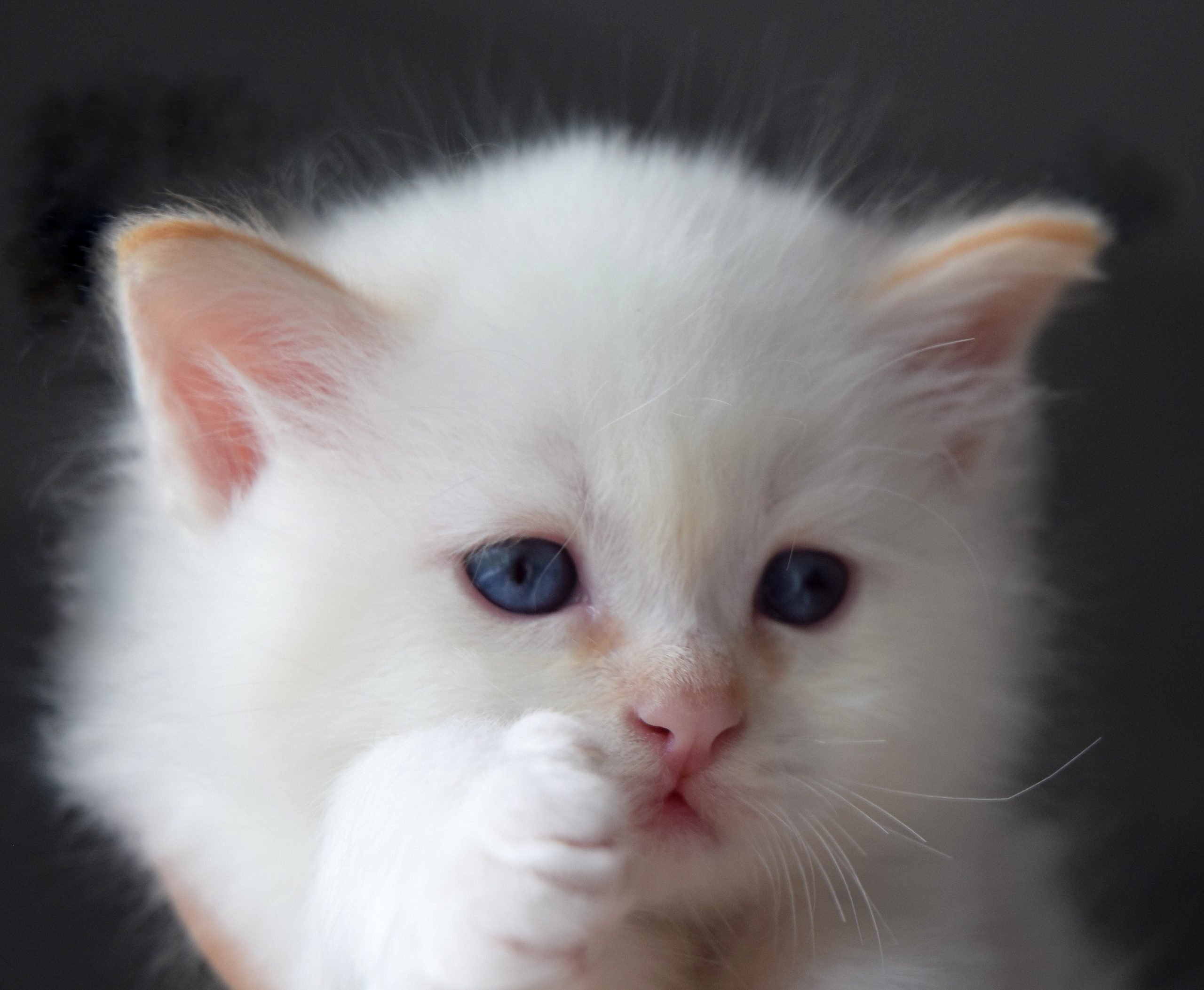 You are currently viewing In family of friends:  Available beautiful red/cream point Birman male kitten (not for breed)